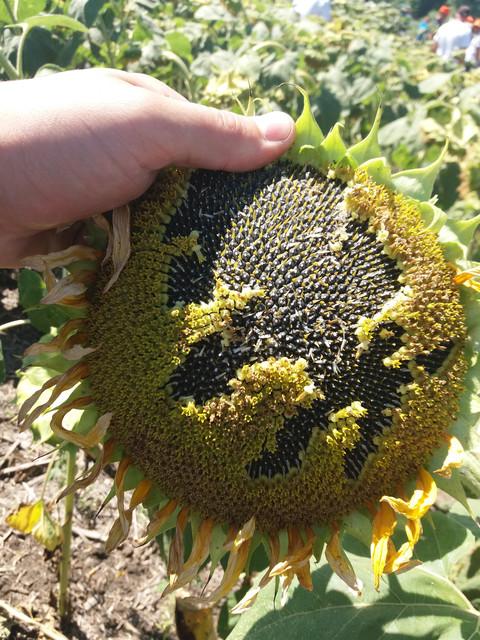 Уважаемые Аграрии. Предлагаем закупить семена подсолнечника Н-СХ-1752 под гербицид Экспресс Сербской Селекции.