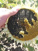 Насіння соняшника пІд гранстар СУМО 556, Купити врожайний соняшник під гербіцид Експрес СУМО Н-СХ 556
