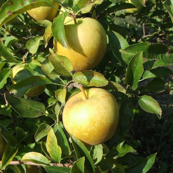 Саженцы Яблони Голден Делишес - зимняя, урожайная, зимостойкая