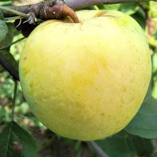 Саджанці Яблуні Антонівка - осіння, урожайна, зимостійка