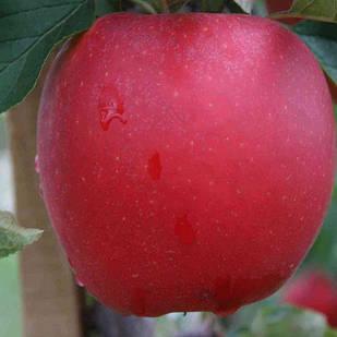 Саджанці Яблуні Гала - осіння, урожайна, зимостійка
