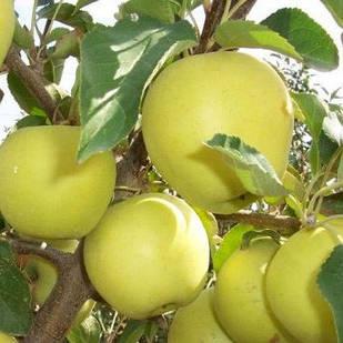 Саджанці Яблуні Голден Делішес клон Б - зимова, крупноплідна, врожайна