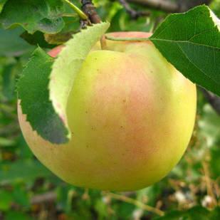 Саженцы Яблони Голден Резистент - зимняя, крупноплодная, скороплодная