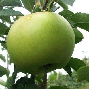 Саженцы Яблони Грин Схем - зимняя, крупноплодная, зимостойкая