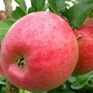 Саженцы Яблони Деличия - осенняя, крупноплодная, зимостойкая