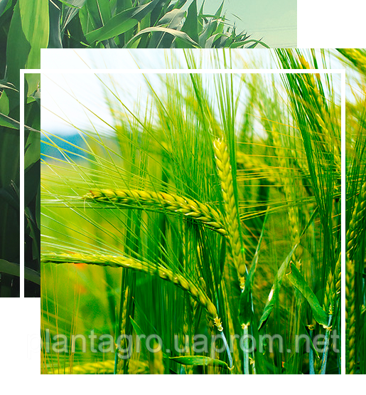 ОЗИМАЯ ПШЕНИЦА/ЯЧМЕНЬ биоТехнология выращивания на 1ГА - ПлантАгро интернет - магазин органического земледелия в Одессе