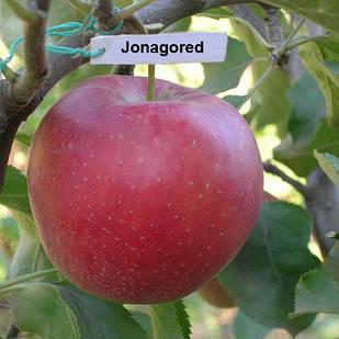 Саджанці Яблуні Джонагоред Моренс Супра - осіння, крупноплідна, врожайна