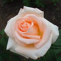 Роза Vivaldi (Вивальди)чайно-гибридная саженец