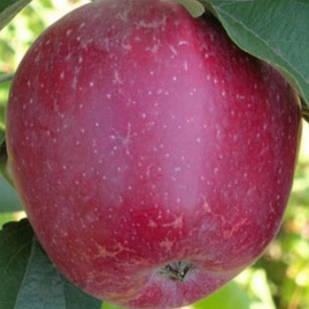 Саджанці Яблуні Кадел - осіння, урожайна, зимостійка