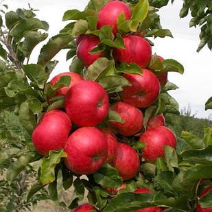 Саженцы Яблони Баргузин - колоновидная, осенняя, урожайная
