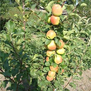 Саджанці Яблуні Болеро - колоновидна, осіння, крупноплідна