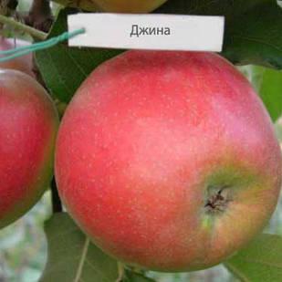 Саженцы Яблони Джина -  колоновидная, летняя, зимостойкая