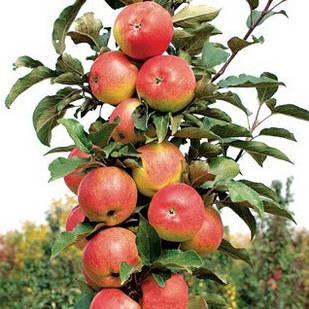 Саджанці Яблуні Останкіно - колоновидна, осіння, урожайна