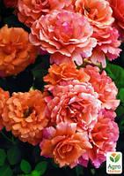 """Эксклюзив! Роза флорибунда абрикосово-розовая """"Народная любовь"""" (Folk love) (саженец класса АА+, премиальный обильно цветущий сорт)"""