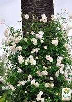 """Роза плетистая """"Venusta Pendula"""" (саженец класса АА+) высший сорт"""