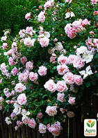 """Эксклюзив! Роза плетистая серебристо-розовая полумахровая """"Жемчужина стиля"""" (Pearl of style)  (саженец класса АА+, премиальный выносливый сорт)"""