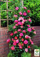 """Эксклюзив! Роза плетистая малиновая с розово-белыми полосками """"Нарядная принцесса"""" (Smart Princess)  (саженец класса АА+, премиальный высший сорт)"""