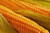 Семена кукурузы Артемов 280 СВ ФАО 280