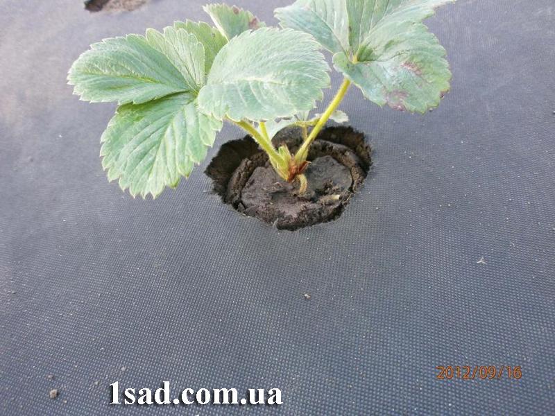 Посадка и выращивание клубники Альбион на чёрном агроволокно 1,6м