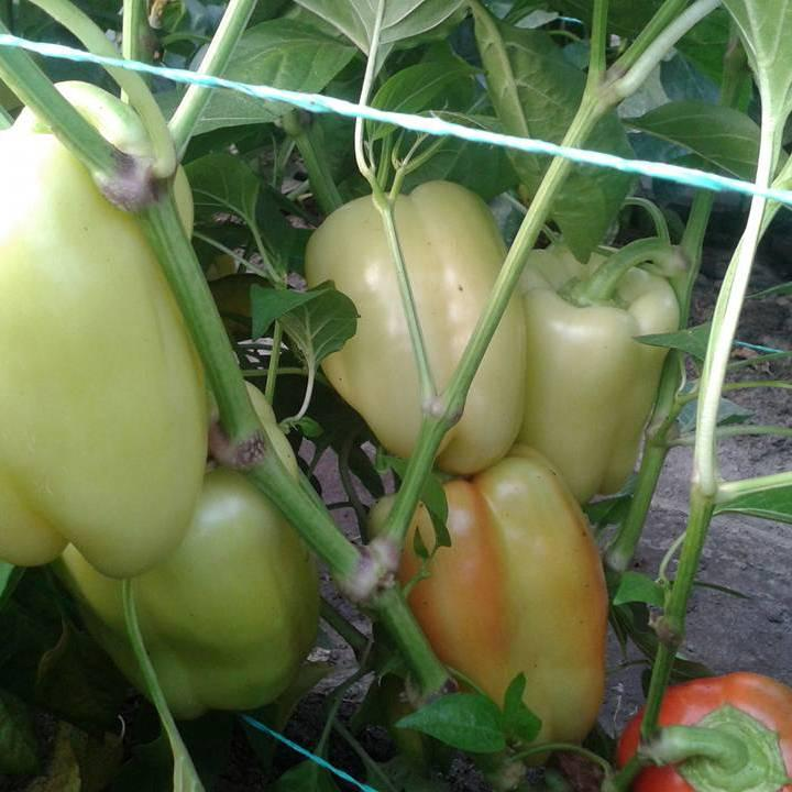 Семена перца сладкого Ведрана F1 (500 сем.)