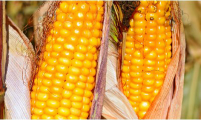 Семена кукурузы Гран 240 (ФАО 250)