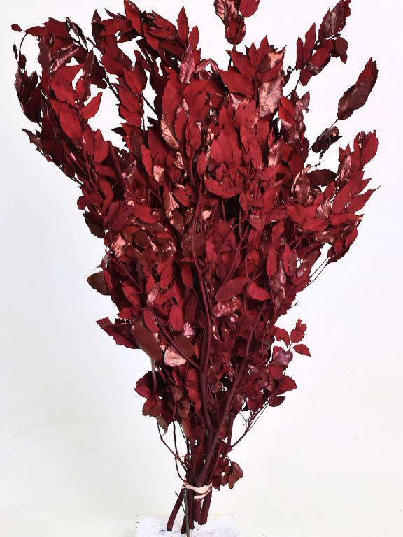 Дуб падуболистный красный 90см
