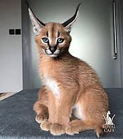 Мальчик Bublik. Котёнок Каракал, питомник Royal Cats