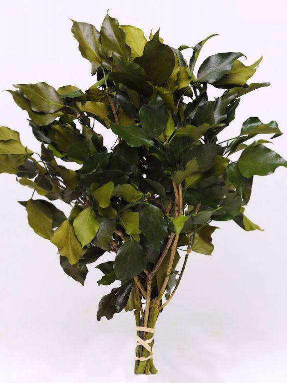 Плющ обыкновенный зеленый 40-50см