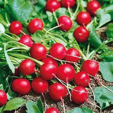 Семена редиса Стеллар F1 10000  семян