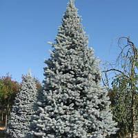"""Ель колючая голубая  Хупси (Picea pungens """"Hoopsii"""")С5"""