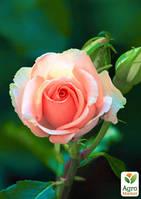 """Эксклюзив! Роза английская молочно-розовая """"Прекрасная Амелия"""" (Beautiful Amelia) (саженец класса АА+, премиальный крупноцветковый сорт)"""