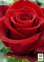 """Роза чайно-гибридная """"Дам де Кёр"""" (саженец класса АА+) высший сорт"""