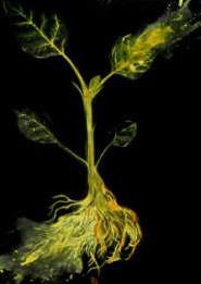 Светящиеся растения: естественное освещение без электричества.