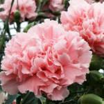 Гвоздика многолетняя высокорослая махровая бледно розовая