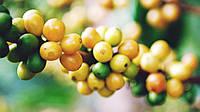 Кава Бразилія Жовтий Бурбон (Brazil Yellow Bourbon)