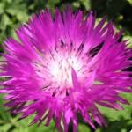 Василек многолетний розовый
