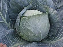 Семена капусты б/к Браво F1 (2500 сем.) Clause