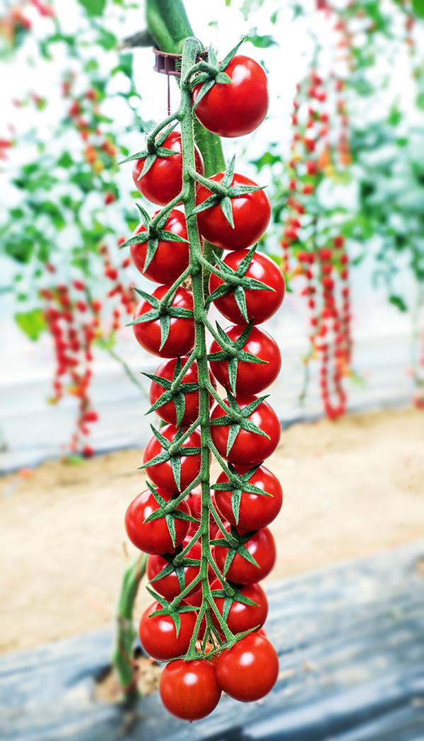 Семена томата Миноприо F1 (250 сем.)