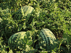 Семена арбуза Тамтам F1 \ Tamtam F1 500 семян Enza Zaden