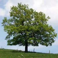 ДУБ ЗВИЧАЙНИЙ (ЧЕРЕШЧАТИЙ) Quercus robur h-0.60- 1.10 м саджанець ВКС