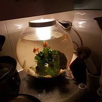 Мифы о рыбках в круглых аквариумах