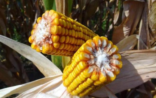 Особливості формування гібридного складу кукурудзи для умов регіону