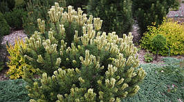 Сосна гірська Sunshine 5 річна, контейнер 3л, Сосна горная Саншайн, Pinus mugo Sunshine, фото 3