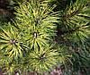 Сосна гірська Sunshine 5 річна, контейнер 3л, Сосна горная Саншайн, Pinus mugo Sunshine, фото 2