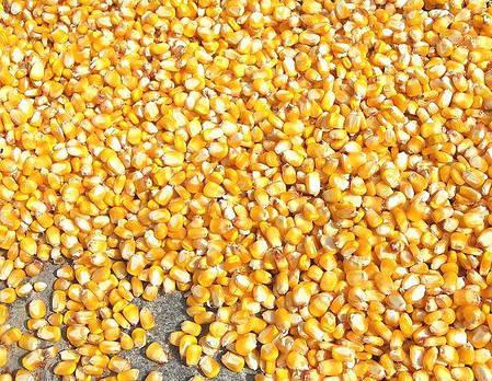 Семена кукурузы НС 2652 (NS) (ФАО 260), фото 2