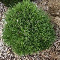 Сосна гірська Hesse 5 річна, контейнер 4л, Сосна горная Хессе, Pinus mugo Hesse