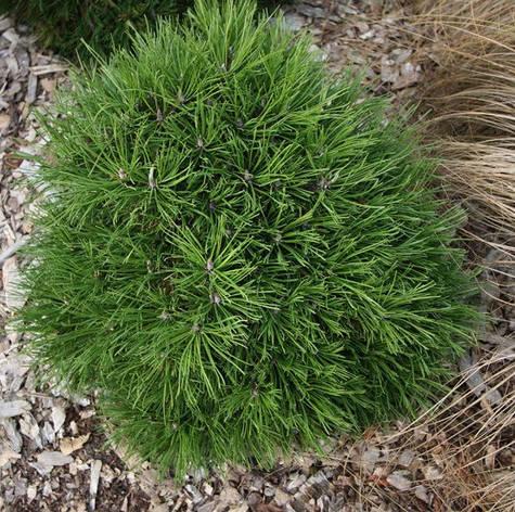 Сосна гірська Hesse 5 річна, контейнер 4л, Сосна горная Хессе, Pinus mugo Hesse, фото 2