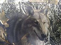 Зимний костюм для рыбалки,охоты -  мембрана Алова прямого покроя   (волк)
