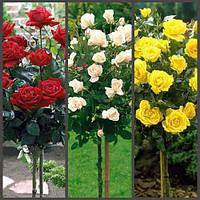 Роза штамбовая набор