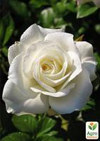 """Роза чайно-гибридная """"Акито""""(саженец класса АА+) высший сорт"""